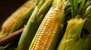 Expertos paraguayos advierten sobre los peligros de los transgénicos ligados al maíz